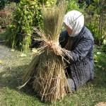 2013年 えごま(じゅね)収穫