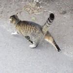 #猫 と散歩。このウキウキぷり。外に出ると尻尾の太さが倍になるよね?