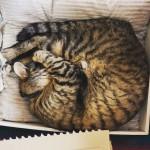 丸くなっております。 #猫 #cat