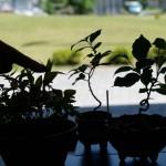 保育園児が #盆栽 を展示するというので見てきた。86歳のご老人曰く『80歳から盆栽を始めたが、もっと早くからやっておけばよかった』と。園児らには早過ぎかと…