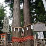今日は神社へお参りに。 #八戸 #櫛引八幡宮 #夫婦杉