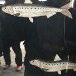 黒石市の街なかでみたお店の暖簾 うねると泳いでるようだ #黒石 #魚 #本物じゃないよ
