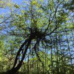 ある日の #奥入瀬渓流 #渦 を巻く木
